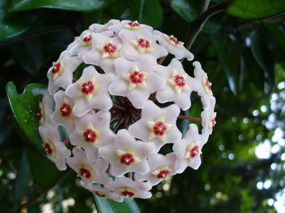 Hoya carnosa parfumée