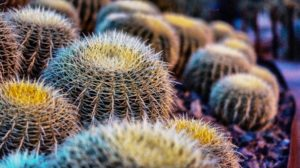 comment arroser un cactus