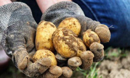 Quand et comment planter la pomme de terre ?