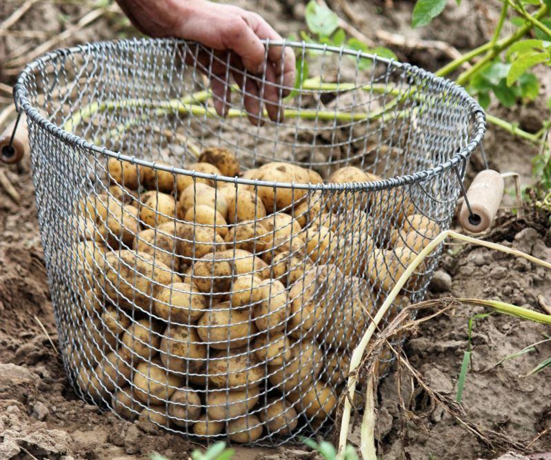 récolte de la pomme de terre