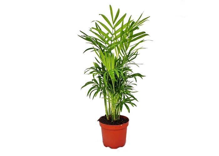 Palmiers Des Montagnes