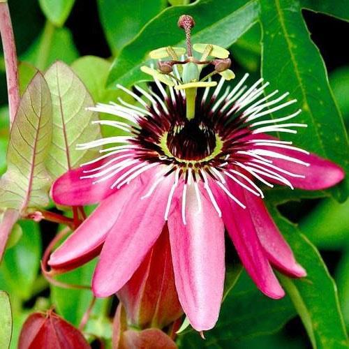 passiflore (passiflora)