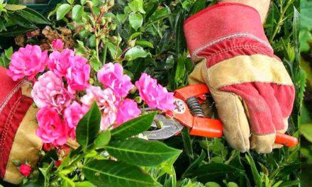 Quand et comment tailler un rosier ?