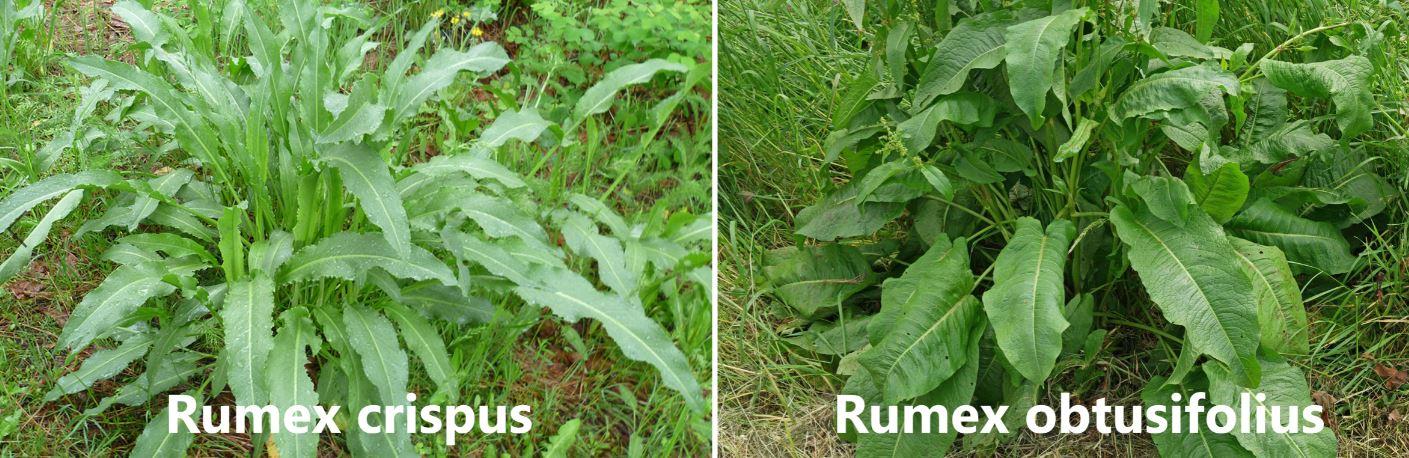 Rumex hydrolapathum & crispus