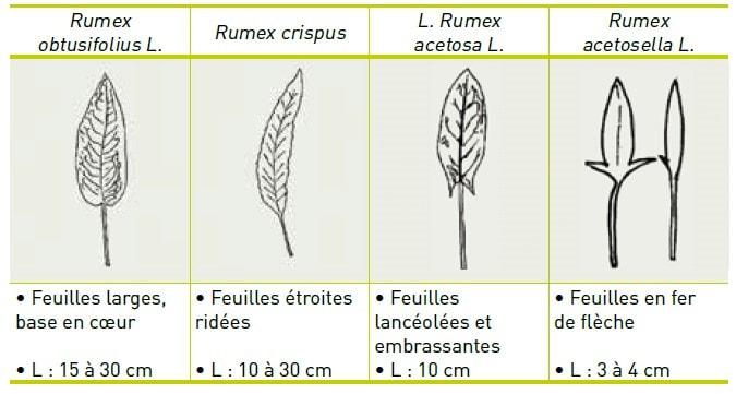 variétés de rumex