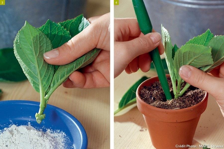 Bouturage plante grasse