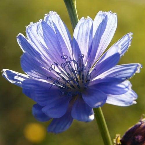 Fleur Bleue Bord De Mer - Almanusa