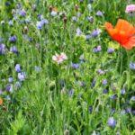 Fleurs des champs : les 20 plus belles !
