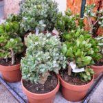Comment bouturer les plantes grasses ?