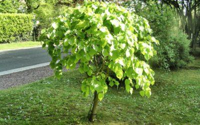 Arbre qui pousse vite : la liste des 10 arbres à croissance rapide