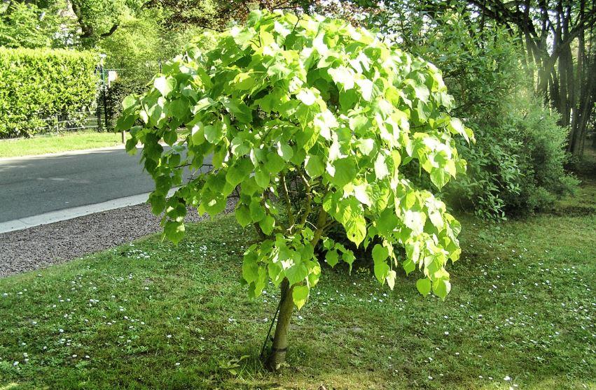 arbre qui pousse vite