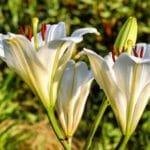 Fleur de Lys : signification, origines, symbole et royauté