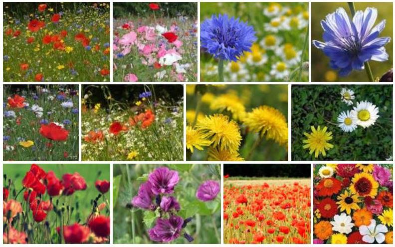 Fleurs des champs : la liste des 20 plus belles fleurs des champs