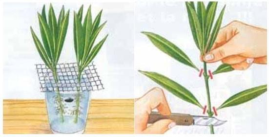 laurier rose pousse vert d eau technique
