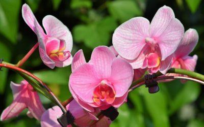 Comment arroser une orchidée ?
