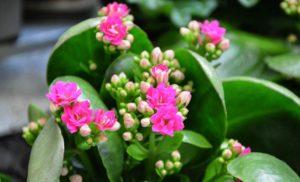 Plantes grasses à fleurs