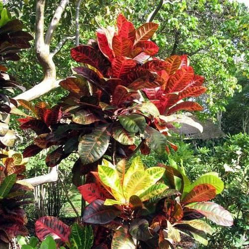 Croton nain