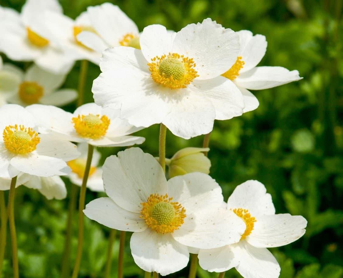 Fleur blanche - du japon et des fleurs