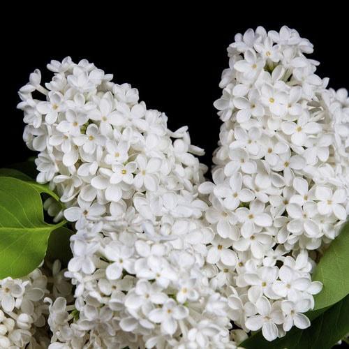 Buddleia Blanc