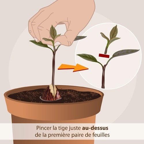 Pincer La Plantule de l'avocatier
