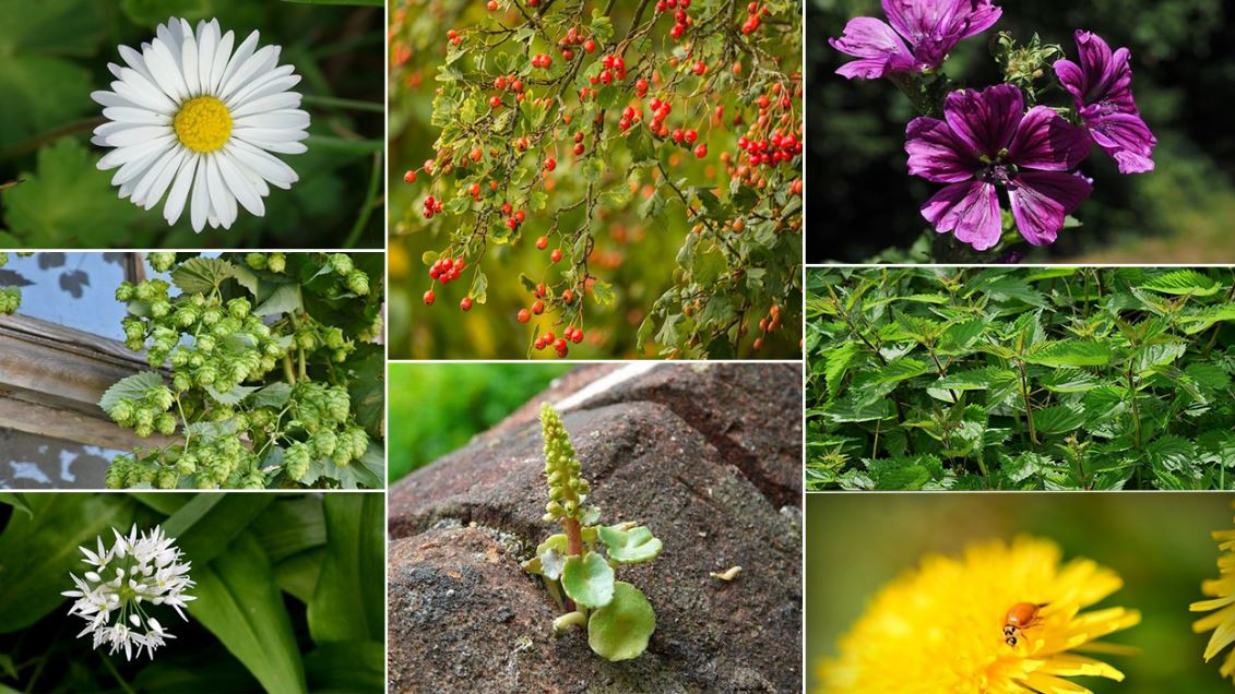 8 Plantes Comestibles photo