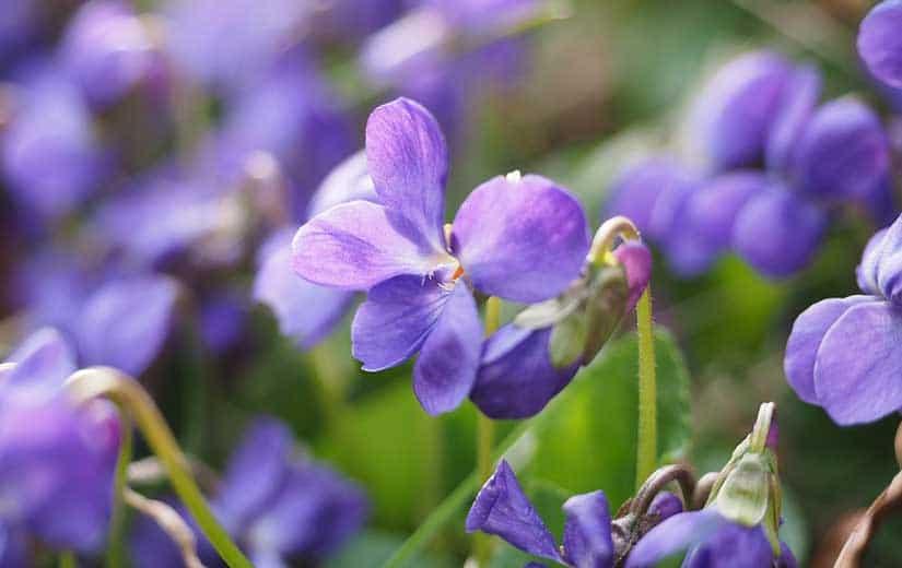 Violettes Fleurs