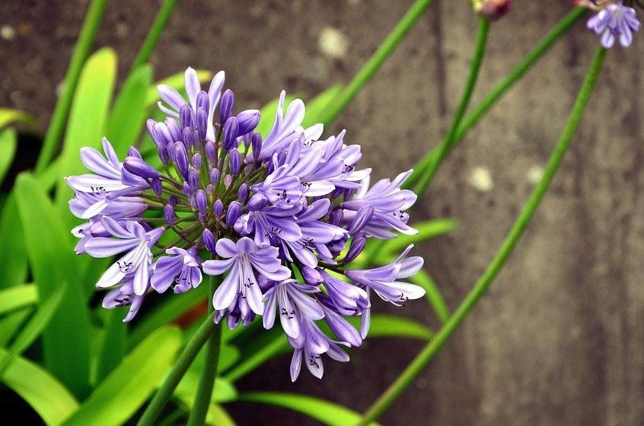 Fleurs violettes  La liste des 30 plus belles variétés !