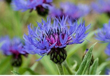 Centaurée Bleuet