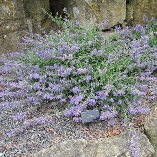Fleurs violettes : La liste des 30 plus belles variétés !