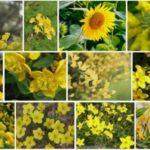 16 Fleurs Jaune