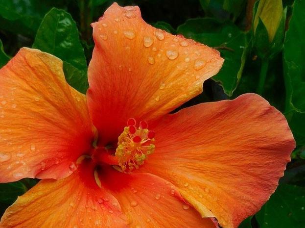 Hibiscus © Marisa04 Min
