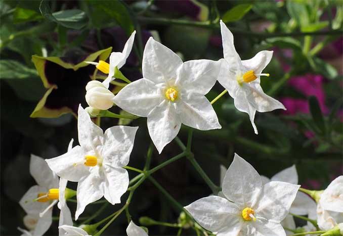 Solanum Jasminoide