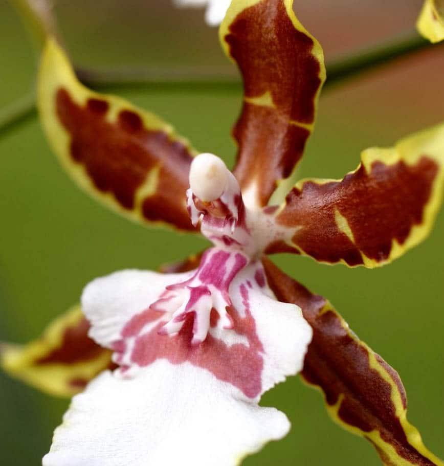 Orchidée Cambria Tropic Jungle