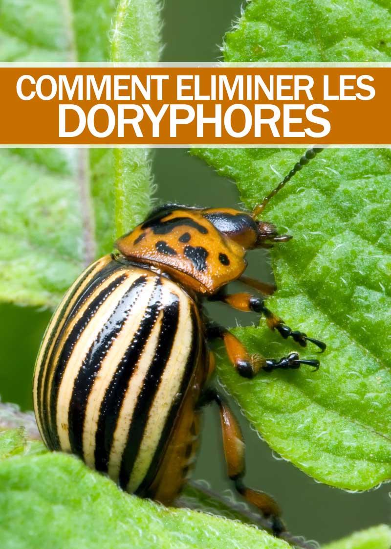comment Eliminer Les Doryphores