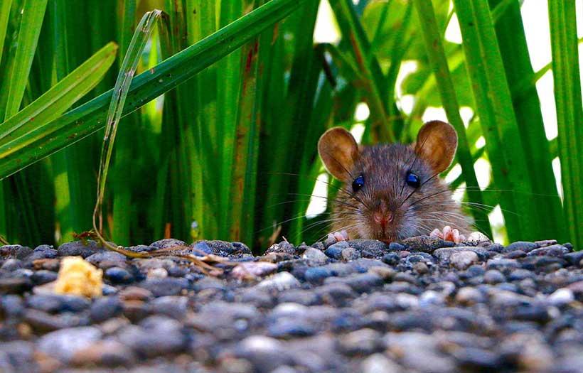 Lutter contre les rats dans le Jardin