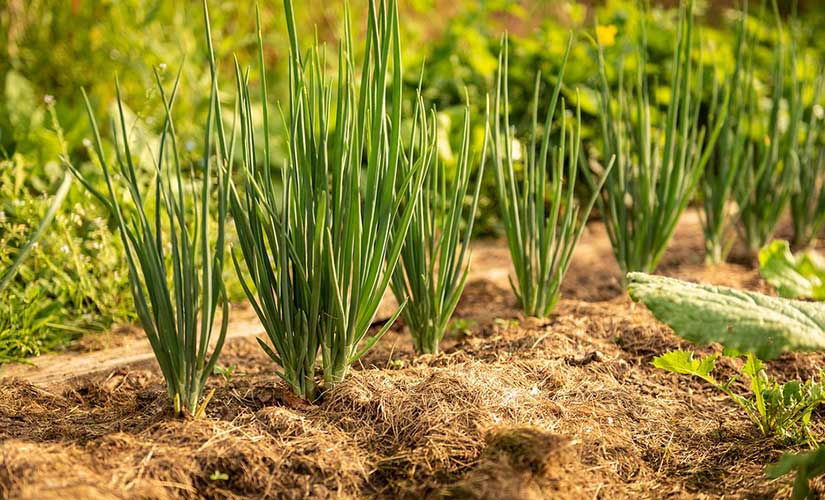 Planter Oignon