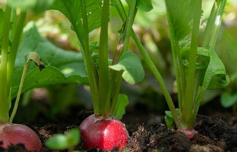 Planter Radis Jardiniere