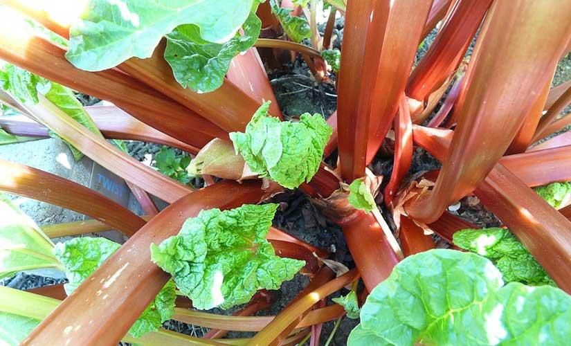 Planter Rhubarbe