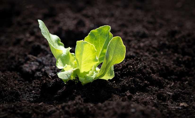 Planter Salade