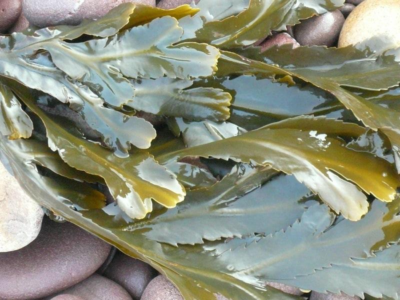 Algues Marines Engrais