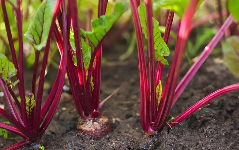 Planter Betterave Jardin