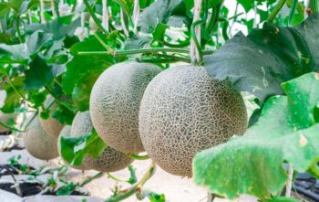 Semer Melon