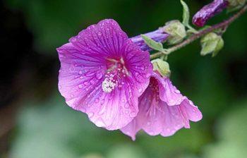 Semer Rose Tremiere