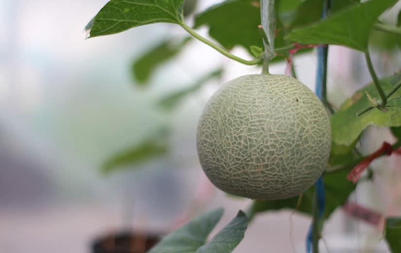 Semis Pousse Melon