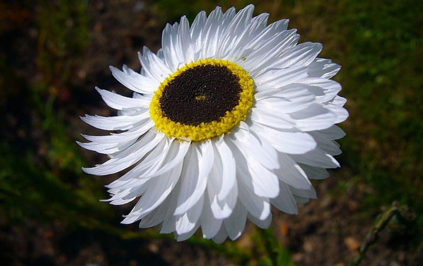 Acroclinium Plante Annuelle
