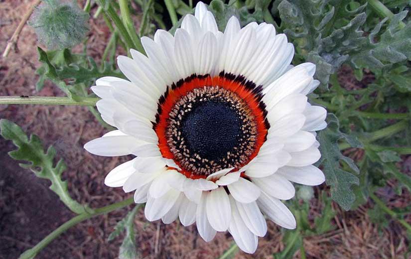 Arctotis Fleur Annuelle
