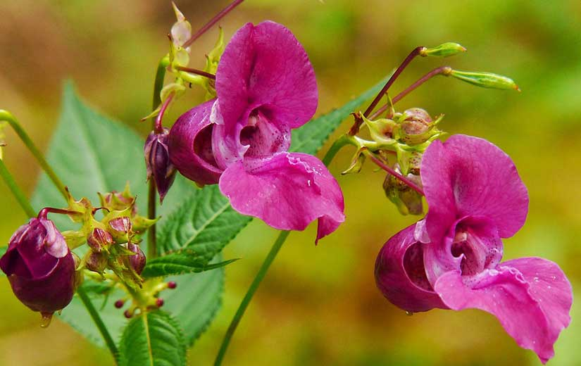 Balsamine Plante Annuelle