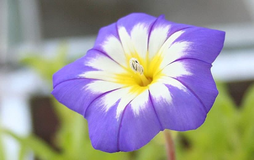 Belle De Jour Fleur Annuelle