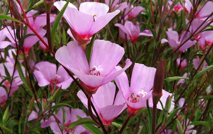 Clarkia Plante Annuelle