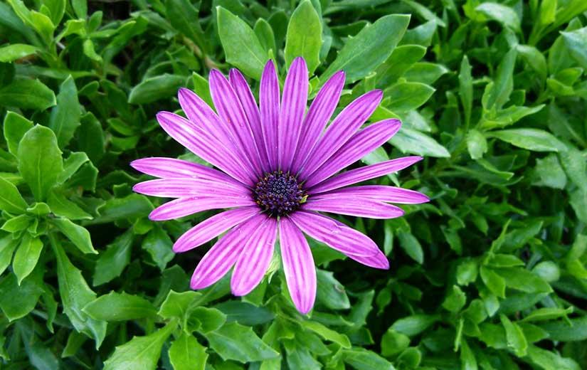 Dimorphotheca fleur annuelle